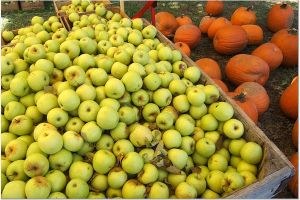 apples_at_hartland_orchard